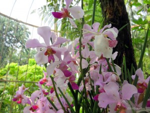 Orchids at Singapore Botanic Gardens