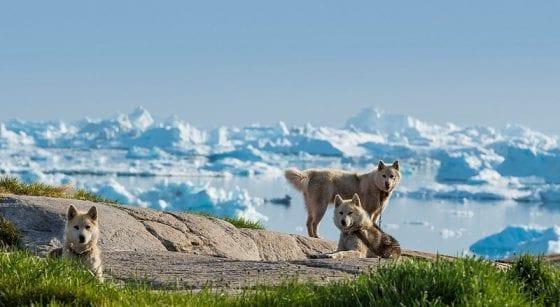 Greenland dog sled team