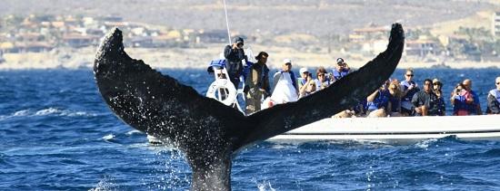Whale watch hilton los cabos fluke
